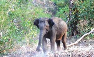 Elephant - Kurumba
