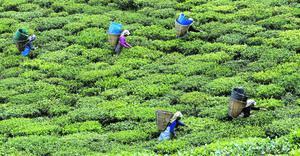 Récolte des feuilles de thé dans le petit État himalayen du Sikkim. Interdite de production de masse en raison d'un relief accidenté, la région s'est tournée vers des cultures diversifiées. Crédits photo : © Tim Chong / Reuters/REUTERS