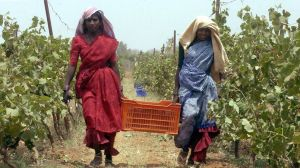 Moët Hennessy a déjà posé les bases de son activité à Dindori, dans la région de Nashik, où il développe son propre vignoble pour 2014. Crédits photo : INDRANIL MUKHERJEE/AFP