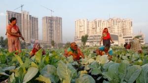 Femmes dans un champ de choux-fleurs à Calcutta. Crédits photo : RUPAK DE CHOWDHURI/REUTERS
